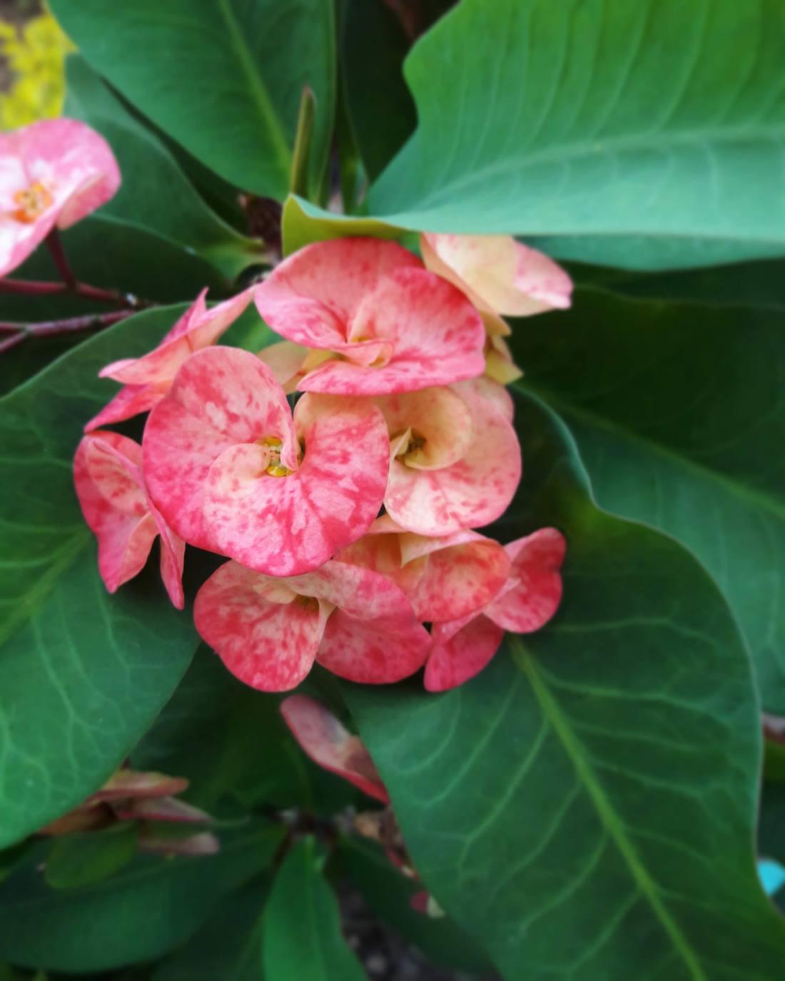 desert rose variety.jpg